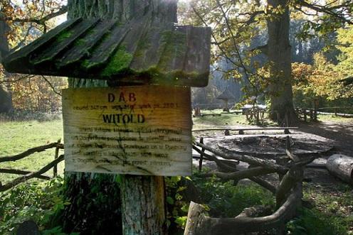Royal Oaks Route in the Bialowieza Forest. / Szlak Debow Krolewskich w Puszczy Bialowieskiej